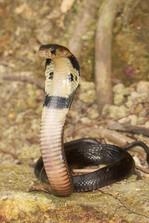 A Juvenile Chinese Cobra