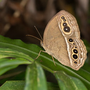 common tree brown - Mycalesis zonata