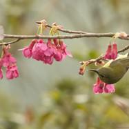 Fork-tailed sunbird female