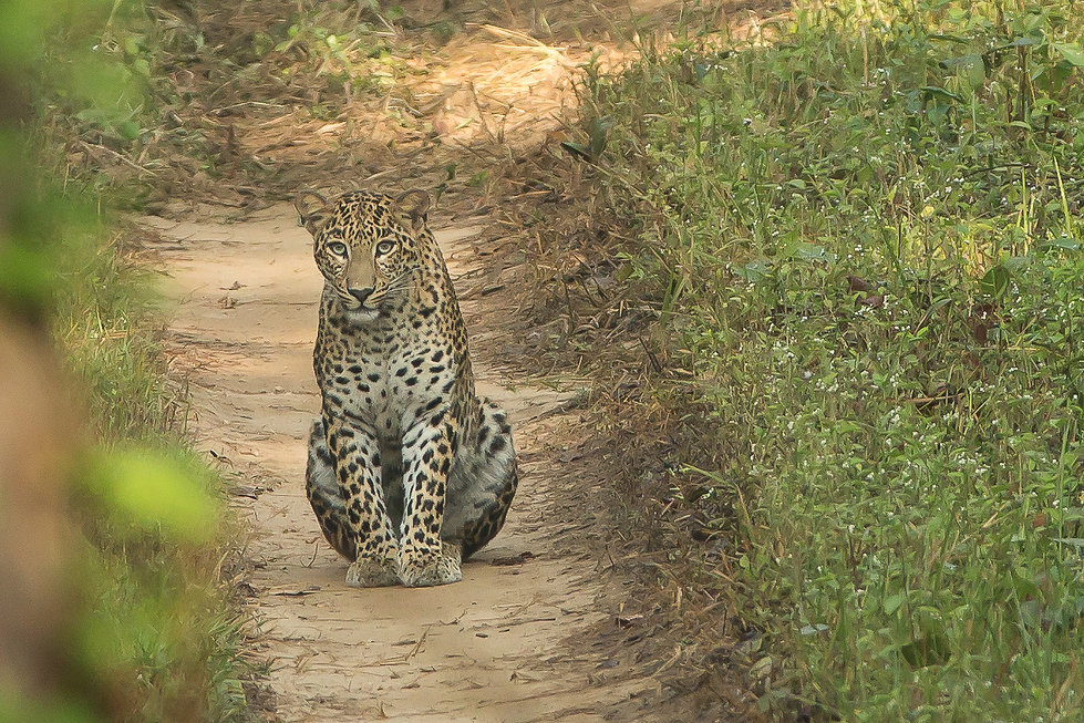 Leopard during day time tadoba national park India
