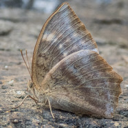 The Common duffer - Discophora sondaica