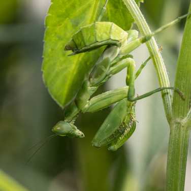 Nymph or young mantis