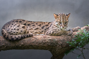 The Leopard cat