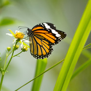 Common tiger - Danaus genutia