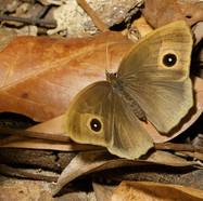 A Bushbrown Butterfly - Mycalesis zonata