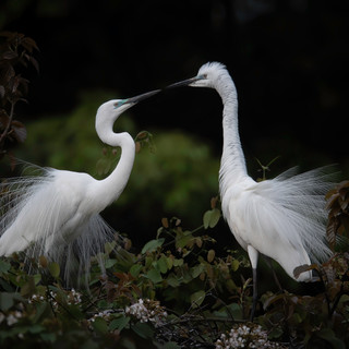 Great egrets in nest