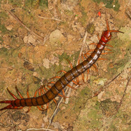 Giant Centipede - Scolopendra sp.