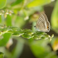 Pea blue - Lampides boeticus