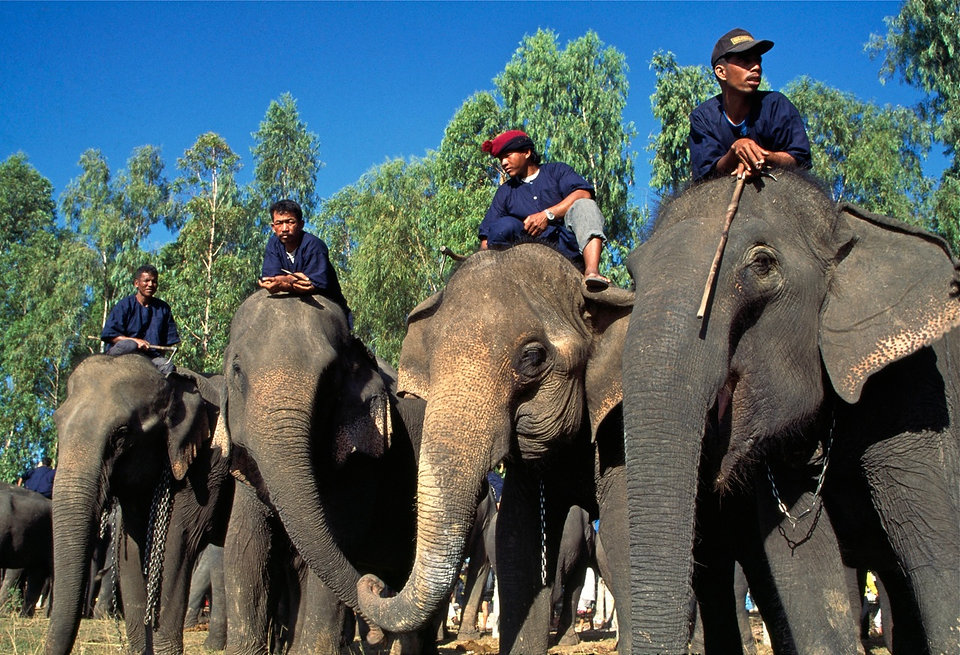 Animal cruelty elephant riding and trekking