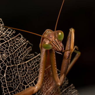 Mantis having a clean