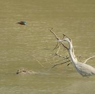 Kingfisher and a Grey Heron