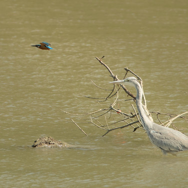 Kingfisher and a Grey Heron