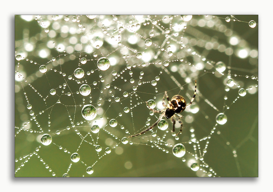 A spider spins his web, covered in dew