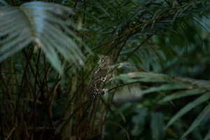 Nudge, nudge, wink, wink.  The tiny Oriental Scops Owl