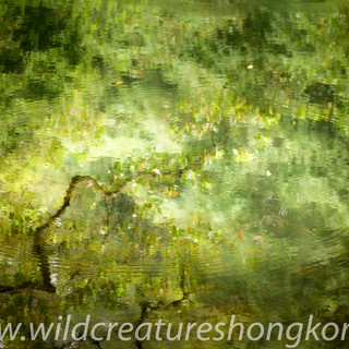 Reflections in a pool at Tai Po Kau