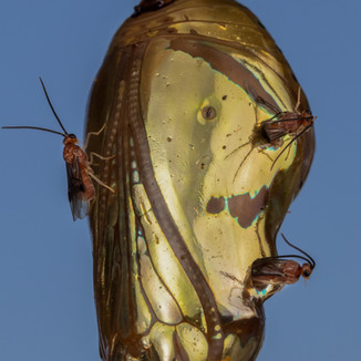 insects-ferguson-robert- parasitic-wasps