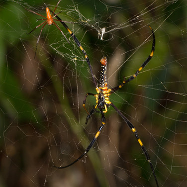 Male orb weaver (the tiny little red thing) - Nephila pilipes