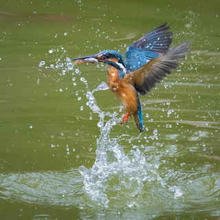 The Common Kingfisher, with catch.