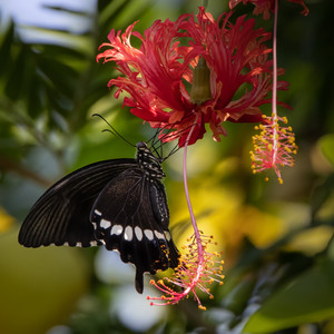 Here another swallowtail butterfly takes the nectar while pollinating the flower.
