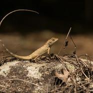 Female Changeable Lizard