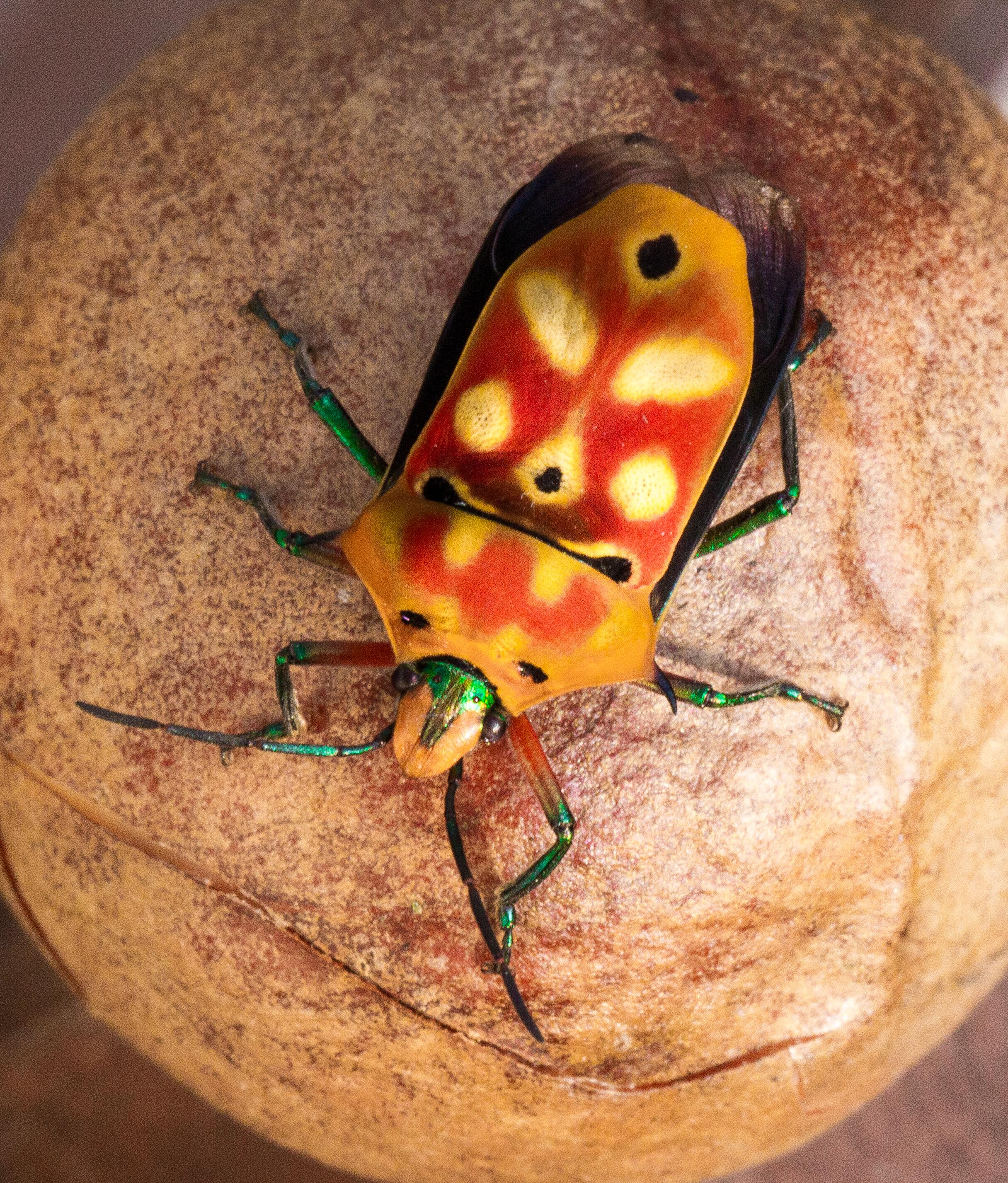 Suield Bug