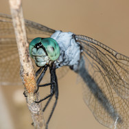 Blue dragonfly...see the link