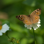 Junonia lemonias, the lemon pansy