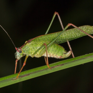 katydid Phaneroptera