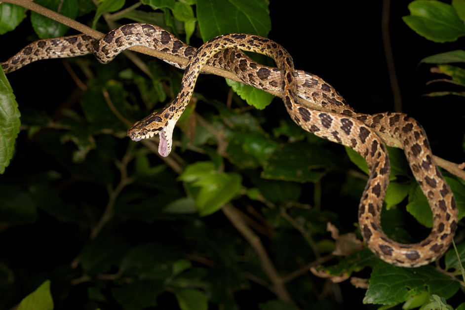 Why do snakes yawn?