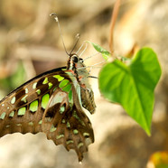 Tailed Jay - Graphium agamemnon