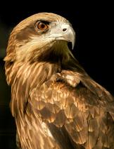 Black-eared kite stares down prey