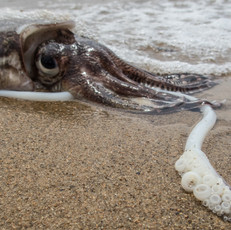 I tought this was a squid, but its not, its a cuttlefish!