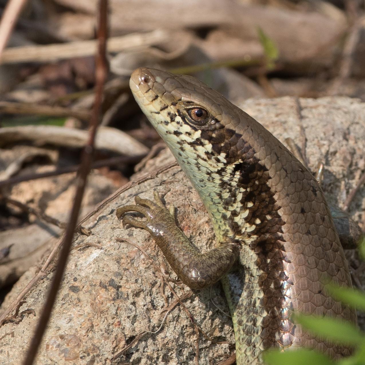 Snakes October19102018-6057