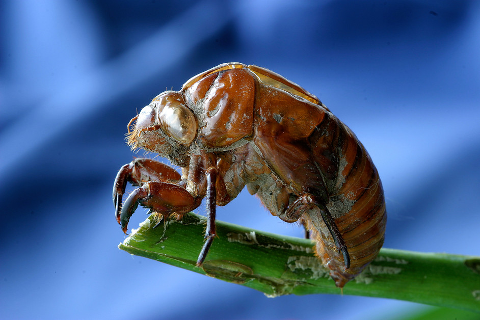 Fascinating facts about the noisy Cicadas.