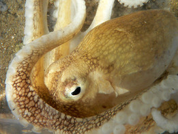 Octopus looks into the lense