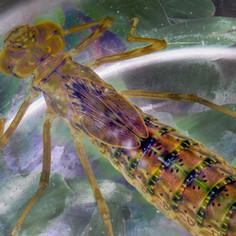 Dragonfly Nymph
