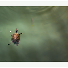 The red-eared slider