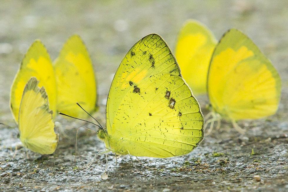 Butteflies drinkin water on mud