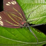 Drury's Jewel - Cyclosia papilionaris.jp