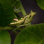 the lovely Flower Mantis