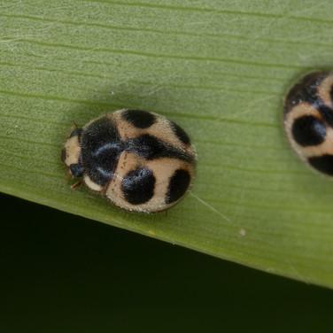 Platynaspis maculosa or ladybirds