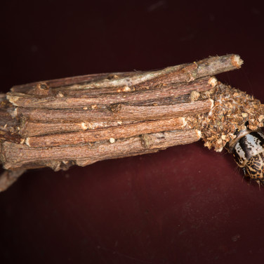 bagworm moth. Psychidae family.
