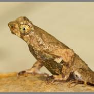 Short legged toad - xenophrys brachykolos