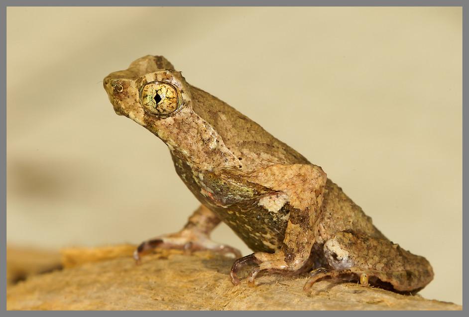 A tiny amphibian with a big name