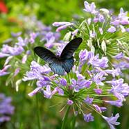 Great Mormon - Papilio memnon