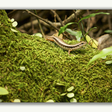 brown forest skink