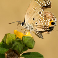 Plains cupid butterfly - Chilades pandava