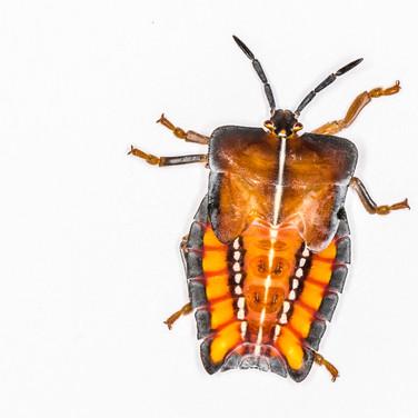 Lychee stink bug - juvenile