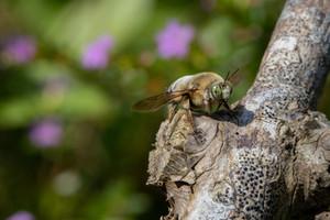 THE FANTASTIC CARPENTER BEE