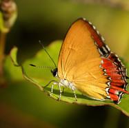 Purple Saphire butterfly - Heliophorus epicles